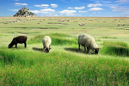 Moutons sur la baie